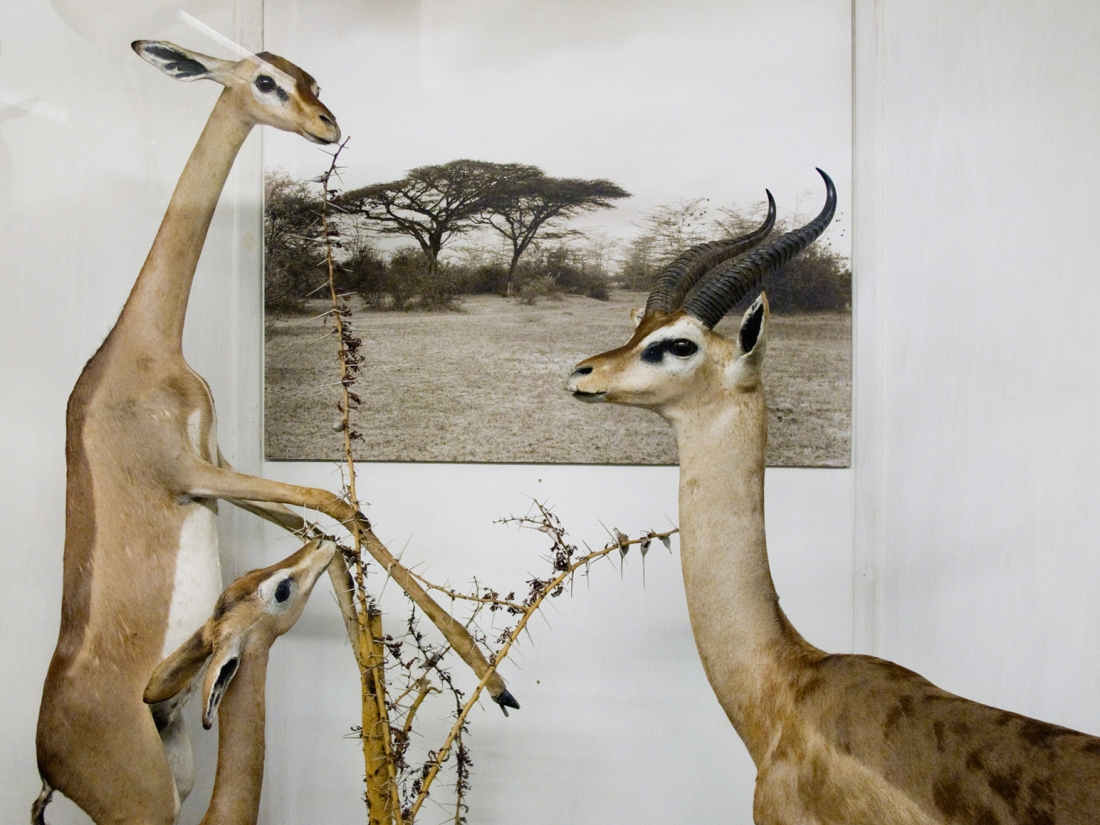 Antilopi, Museo della Specola, Firenze 2010