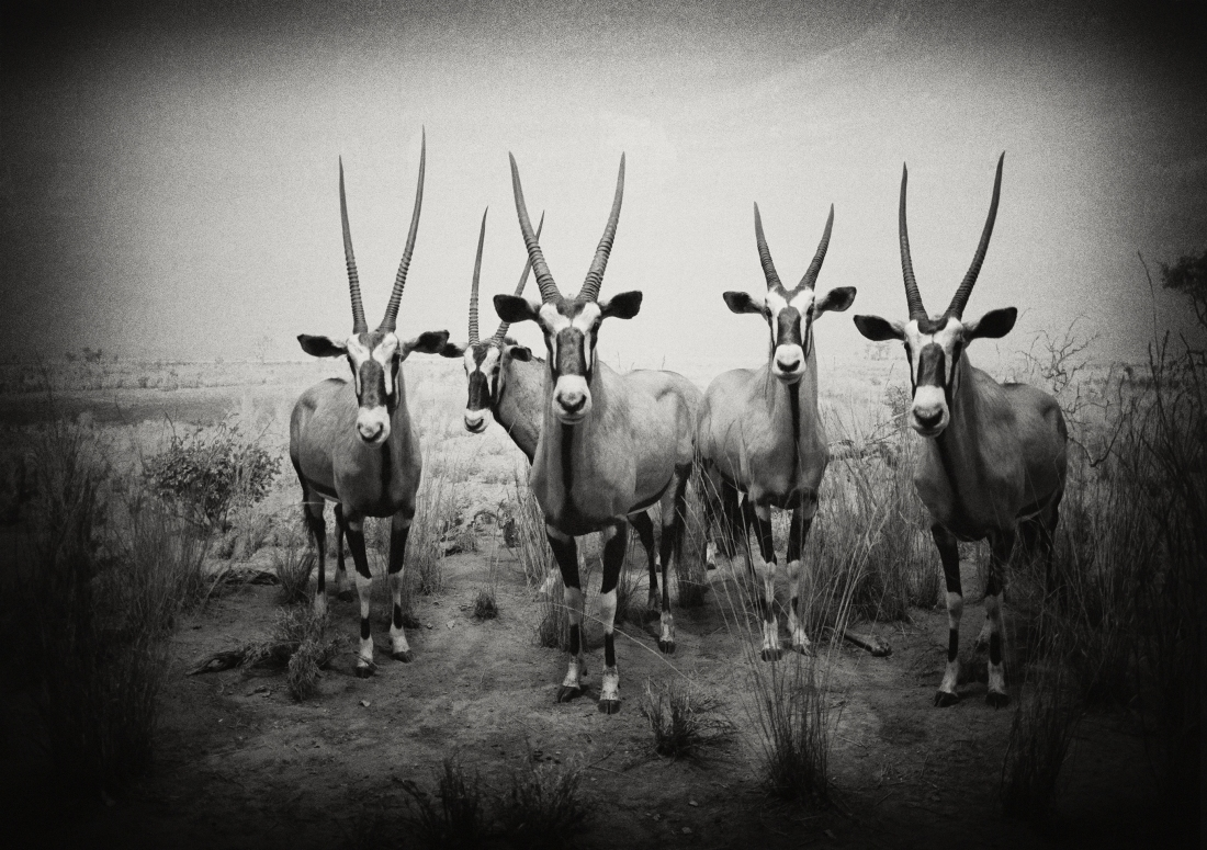 Gemsbok, Museum of Natural History, New York 2001
